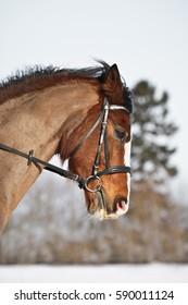 Portrait pf brown pony being ridden.