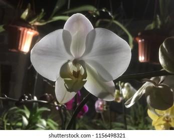 Portrait of Phalaenopsis amabilis, light from background