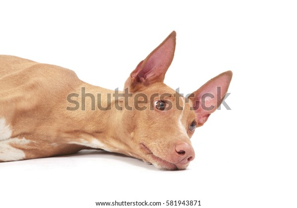 Portrait of the pharaoh hound lying on a white background.