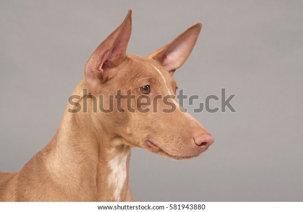 Portrait of a pharaoh hound on a gray background.