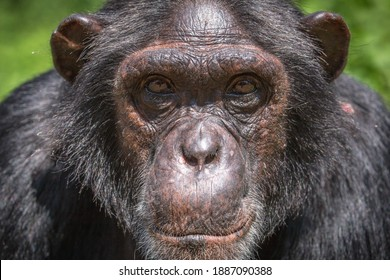 A portrait photo of an adult chimpanzees face. Adult chimpanzees can be distinguished by their dark or black skin, and typically have dark coloured eyes with a white beard.