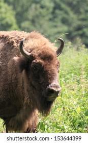 portrait photo of an european bison