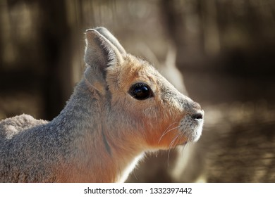 Portrait photo of Patagonian mara (Dolichotis patagonum). It's a relatively large rodent in the mara genus. It is also known as the Patagonian cavy, Patagonian hare or dillaby.