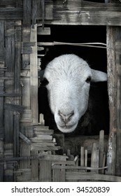 Portrait photo of sheep looking out from thatched bamboo hut