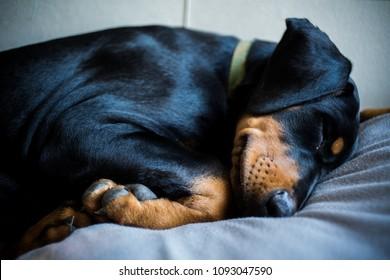 A portrait photo of a sleeping Doberman puppy.