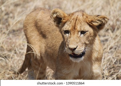 Portrait photo of a young lion.