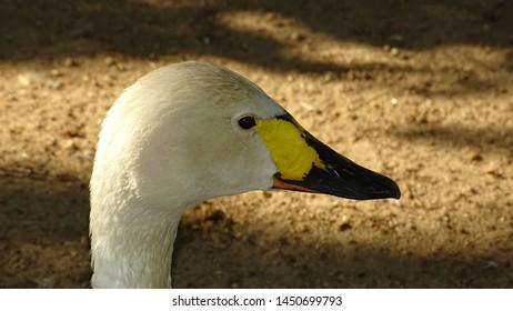 Portrait of a photogenic goose