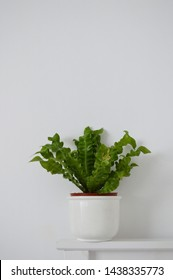 Portrait of photograph of crispy wave spleenwort plant against white background