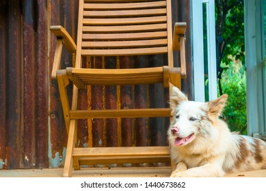 Portrait picture of a Belgian Shepherd dog laying down outside on the patio, happily waiting near his owner's wooden chair