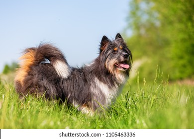 portrait picture of a cute Elo dog on the meadow