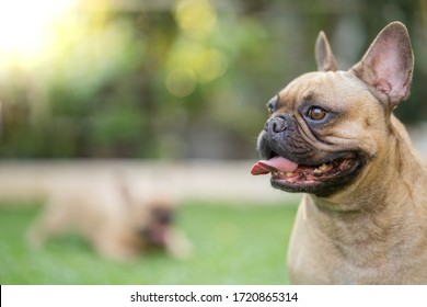 Portrait picture of cute french bulldog standing at garden.