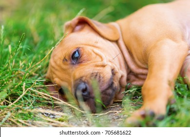 portrait picture of a cute Rhodesian Ridgeback puppy