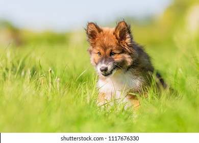 portrait picture of an Elo puppy who sits on a meadow