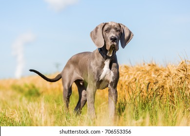 portrait picture of a Great Dane puppy who stands on a country path
