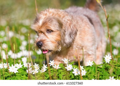 portrait picture of a small old dog in the thimbleweeds