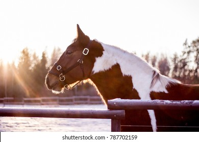 Portrait of piebald horse in winter sunset at the farm