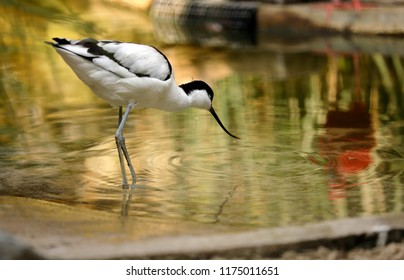 Portrait of Pied Avocet (Recurvirostra avosetta) black and white waterbird.  Photography of nature and wildlife.