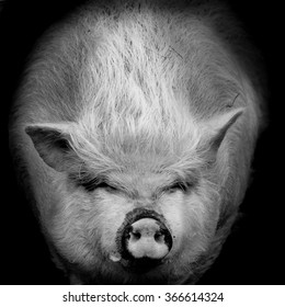 Portrait of a pig against in black and white