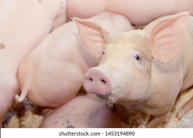 Portrait piggy : The little piglet on the farm that is mischievously looking at the camera is interesting.