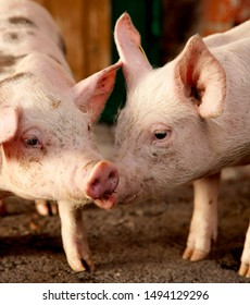 Portrait of piglets in the stable