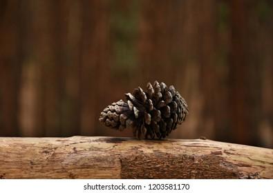 Portrait of Pine Cone - Pine forest, Kodaikanal, Tamil Nadu.