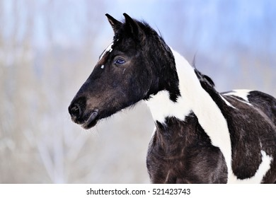 Portrait of pinto horse in winter