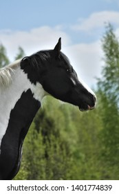 Portrait of a pinto tinker cross horse.