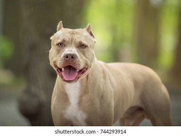 Pit Bull Images, Stock Photos & Vectors | Shutterstock