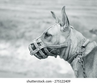 Portrait of a pit Bull Dog wearing a muzzle. monochrome