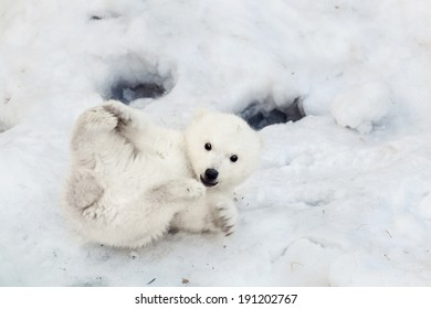 Portrait of a plaing polar bear baby on the snow