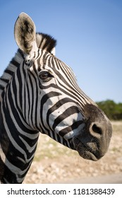 Portrait of plains zebra (Equus quagga), in the sun-drenched morning savannah. African herbivore - zebra in the day light.