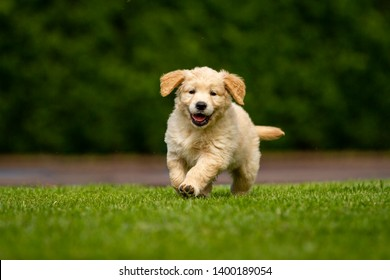 Portrait of a playful puppy of pedigreed Golden Retriever dog is running in a green park towards the camera in a sunny day.