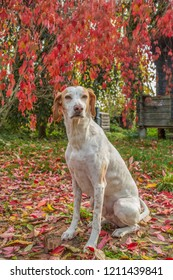 A portrait of a pointer dog amongst autumn leaves.