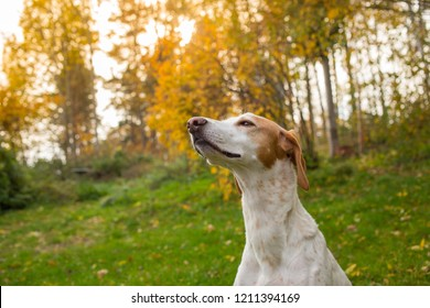 Portrait of a pointer dog outside at a late afternoon autumn day