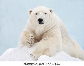 Portrait of a polar bear close-up. - Shutterstock ID 1721734369