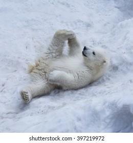 Portrait of polar bear cub practicing yoga on the snow.