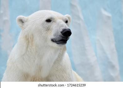 Portrait of a polar bear on a blue background. - Shutterstock ID 1724615239