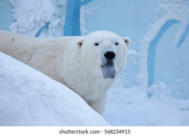 Portrait of polar bear in profile. Strong frost. Blue tongue protruding. From the jaws of a polar bear is steam