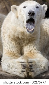 Portrait of Polar Bear yawning with open mouth