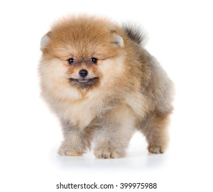 Portrait of a Pomeranian puppy age of 2 month isolated on white background