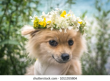 Portrait of Pomeranian puppy with circlet of flowers.