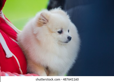 Portrait of pomeranian spitz puppy