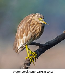 Portrait  of Pond Heron roosting on isolated tree branch