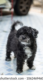 Portrait of Poodle dog