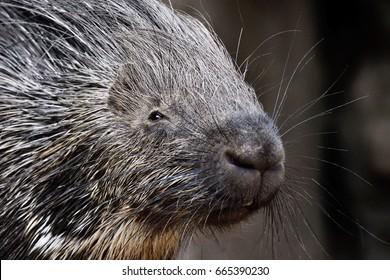 portrait of porcupine, Hystrix