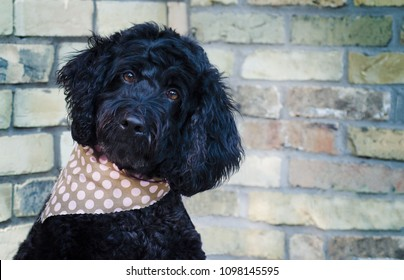 Portrait of a Portuguese Water Dog