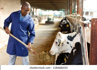 Portrait of positive African-American male worker in blue robe working on dairy farm