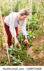 Portrait of positive woman  horticulturist  picking  harvest of  peppers  in greenhouse