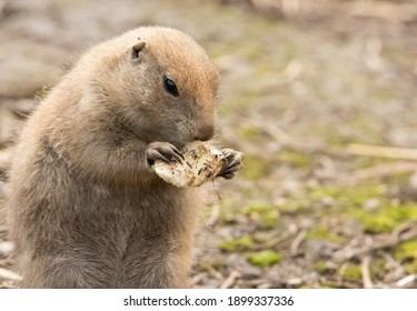 A portrait of a prairie dog eating
