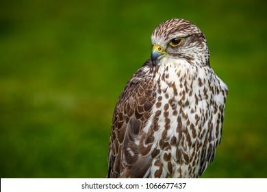 Portrait of a prairie falcon living in captivity.